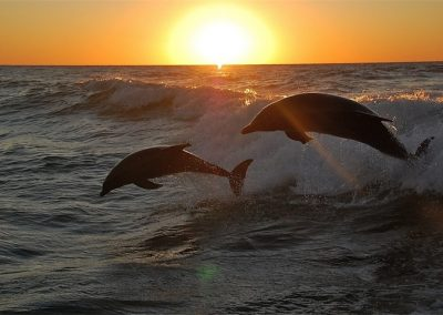 Dolphns at Sunset